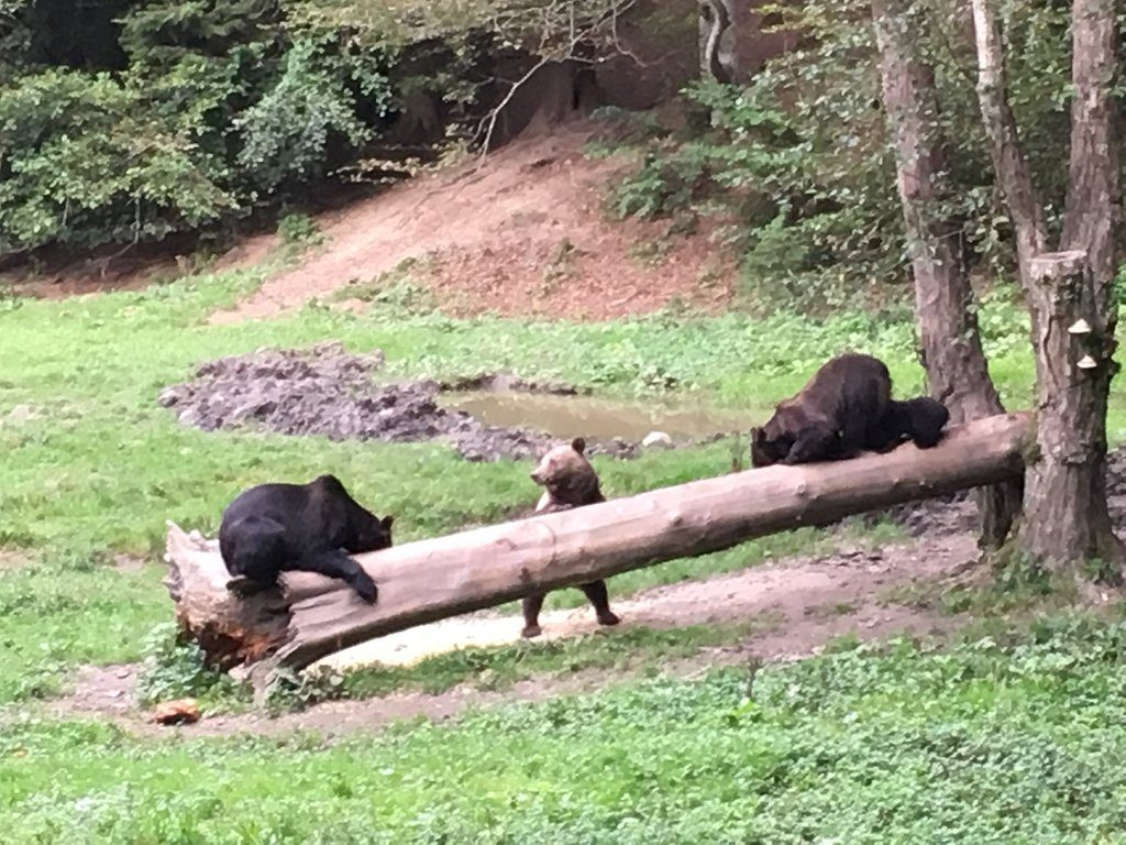 Lazy afternoon for some brown bears, relaxing