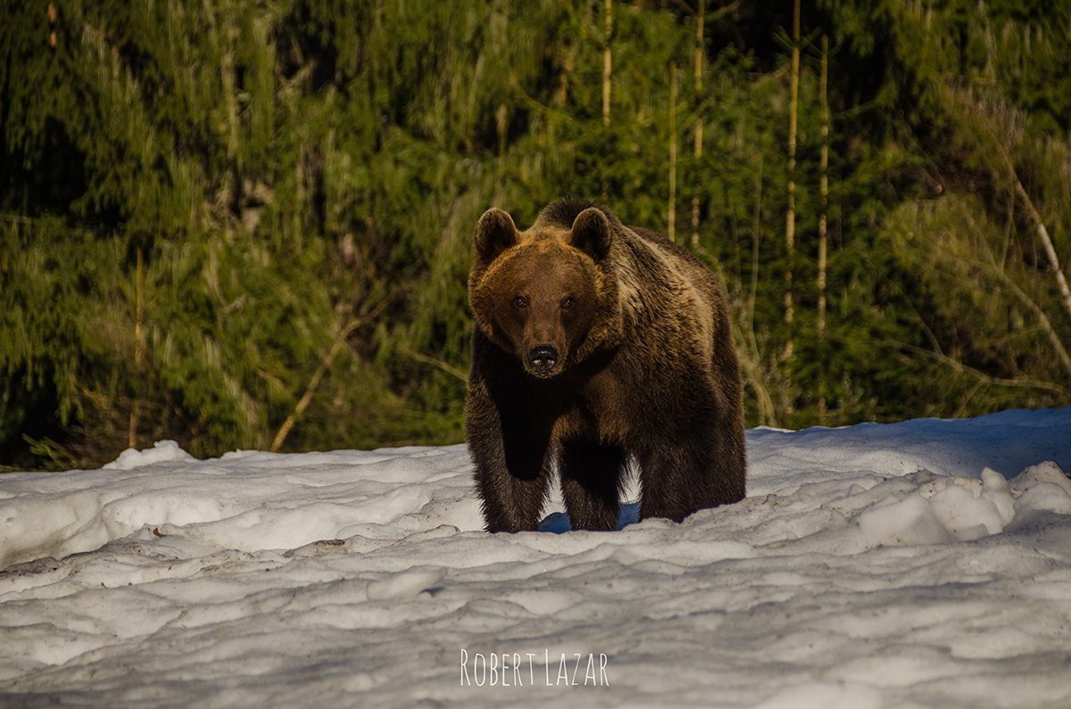 Bear watching season in Tusnad