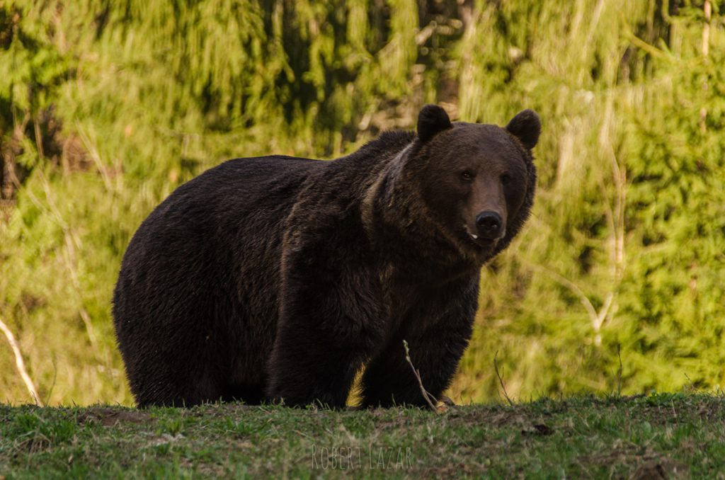 Bear Watching Tusnad 24.04.2019 DSC_0083 small