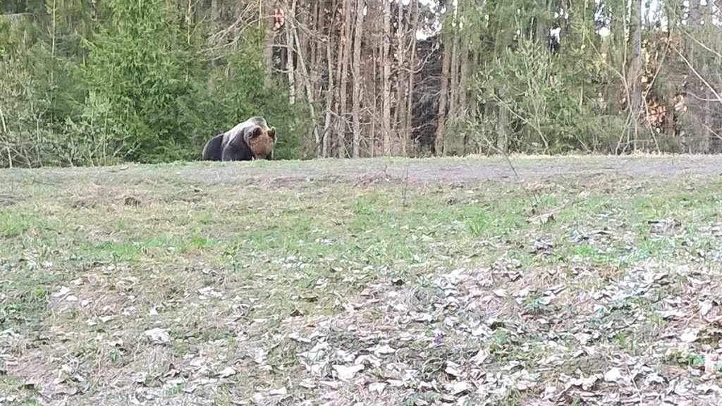 Bear watching tusnad april 15th
