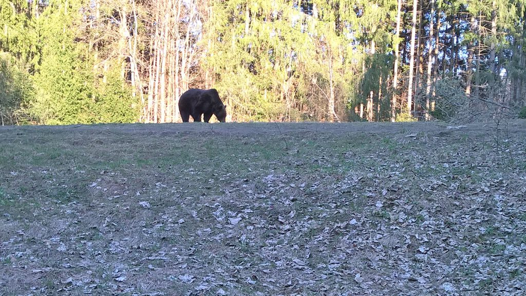 Bear watching tusnad april 15th 2019