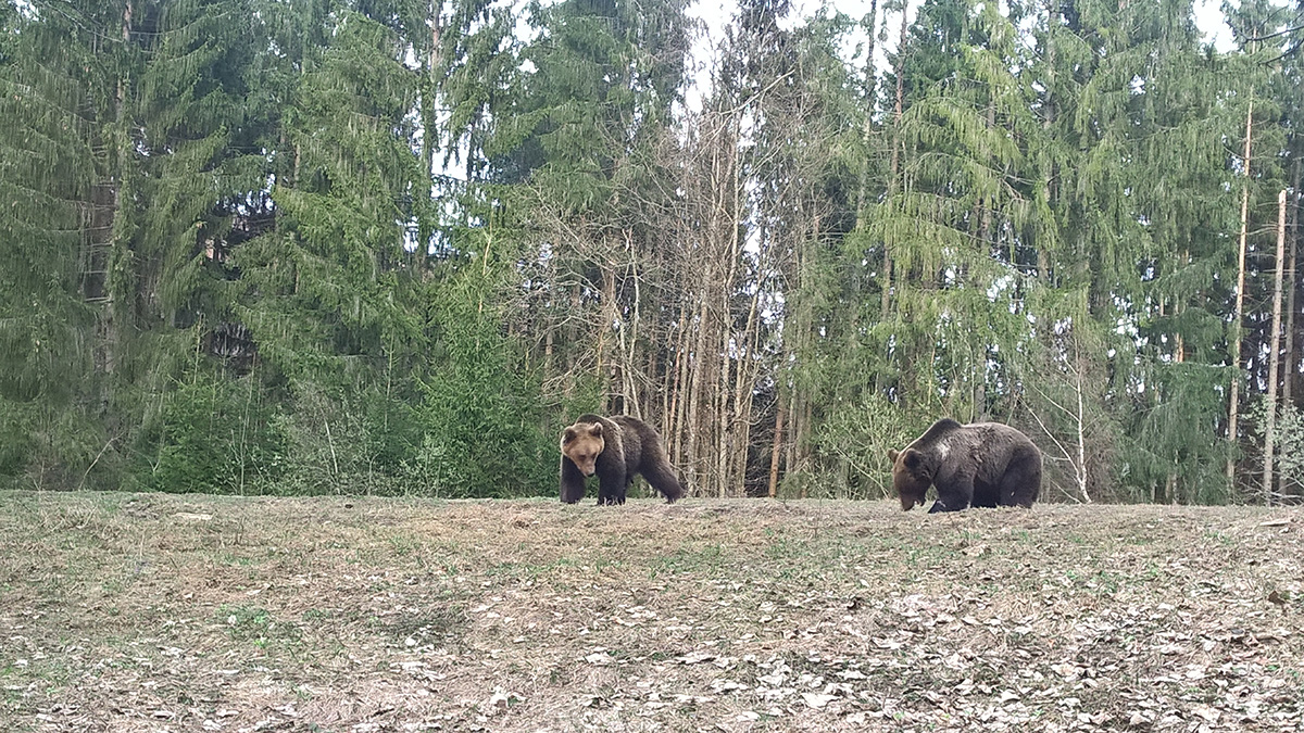 bear watching around brasov