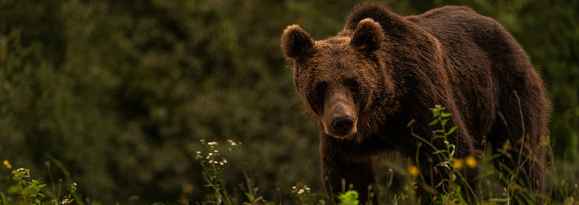 Bear Watching in Romania