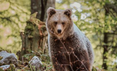 slovenia-bear-watching