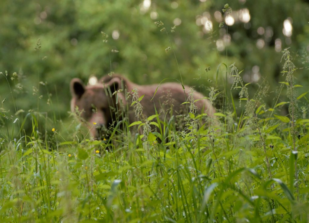 Seeing bears in Romania's forest